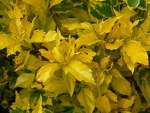 Jardim amarelo Imagens de Stock Royalty Free