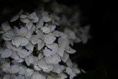 jardim bonito branco do russo da hortênsia das flores Imagens de Stock Royalty Free