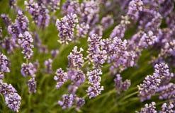 Jardim bonito da alfazema em Sequim 9 Imagem de Stock
