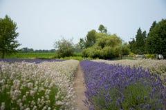 Jardim bonito da alfazema em Sequim 17 Imagens de Stock