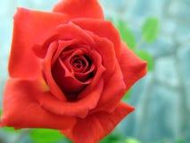 jardim bonito da rosa do vermelho na primavera Flor esplêndida e romântica Imagens de Stock Royalty Free