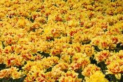 Jardim bonito do Tulip Foto de Stock