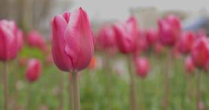 Jardim bonito do Tulip vídeos de arquivo