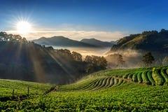 Jardim bonito e nascer do sol da morango em Doi Ang Khang, Chiang Mai, Tailândia fotografia de stock