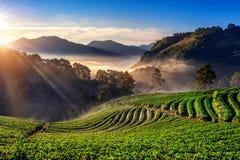 Jardim bonito e nascer do sol da morango em Doi Ang Khang, Chiang Mai, Tailândia foto de stock royalty free