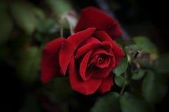 Jardim botânico de Nikitsky crimeia O vermelho levantou-se fotos de stock