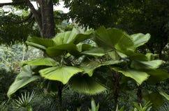 Jardim botânico de singapore das palmeiras Imagens de Stock