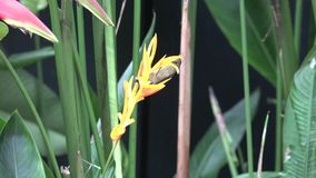 Jardim botânico de Singapura Sterlitzia vídeos de arquivo