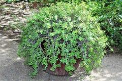 Jardim botânico do deserto durante o inverno situado em Phoenix, o Arizona, Estados Unidos imagem de stock royalty free