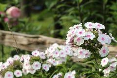 Jardim branco do flox Fotografia de Stock Royalty Free