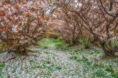 Jardim branco Kyoto Japão de sakura da flor completa fotografia de stock