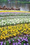 Jardim colorido do açafrão Fotografia de Stock Royalty Free