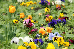 Jardim com as flores da tulipa e do amor perfeito Foto de Stock Royalty Free