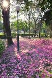 Jardim com a flor completa de Tabebuia Imagem de Stock Royalty Free
