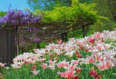 Jardim com tulipa e glicínia Imagem de Stock