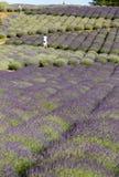 Jardim completamente da alfazema fotografia de stock royalty free