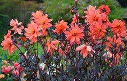 Jardim cor-de-rosa da dália imagens de stock