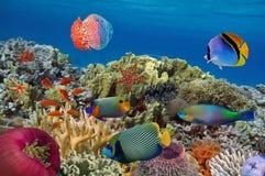 Jardim coral com estrela do mar e os peixes tropicais coloridos Imagens de Stock