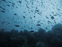 Jardim coral na parede (Moalboal - Cebu - Filipinas) Fotos de Stock Royalty Free
