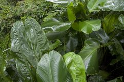 Jardim da árvore de banana Fotos de Stock Royalty Free