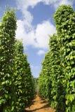 Jardim da árvore de pimenta na luz solar em Phu Quo Fotografia de Stock Royalty Free