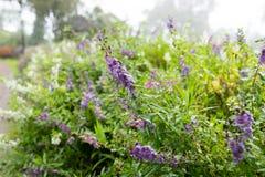 Jardim da alfazema e do lilás foto de stock royalty free