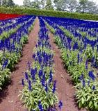 Jardim da alfazema no Hokkaido japão Foto de Stock