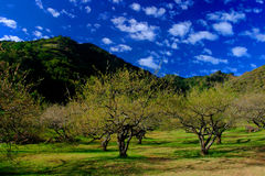 Jardim da ameixa Foto de Stock