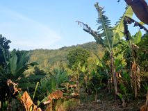 Jardim da banana fotografia de stock