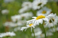 Jardim da camomila a flor na natureza Foto de Stock Royalty Free