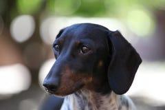 Jardim da estação do outono do cão de cachorrinho do bassê Fotografia de Stock Royalty Free