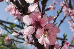 Jardim da flor de Tenderpeach na primavera Fotos de Stock Royalty Free