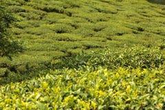 Jardim da folha do chá Imagens de Stock Royalty Free