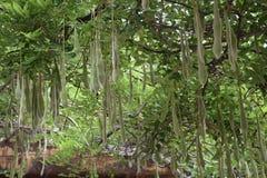 Jardim da glicínia Imagens de Stock Royalty Free