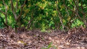 Jardim da manga com folha secada Foto de Stock Royalty Free