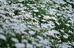Jardim da margarida branca Imagens de Stock