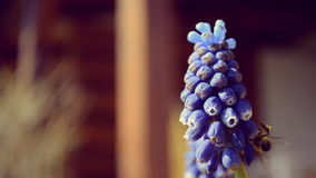 Jardim da mola - abelha em uma flor azul video estoque