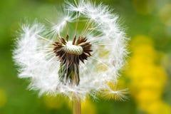 Jardim da mola e prado - flores da primavera: dente-de-leão Taraxa Imagens de Stock