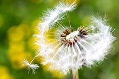 Jardim da mola e prado - flores da primavera: dente-de-leão Taraxa Foto de Stock Royalty Free
