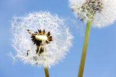 Jardim da mola e prado - flores da primavera: dente-de-leão Taraxa Imagem de Stock Royalty Free