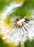 Jardim da mola e prado - flores da primavera: dente-de-leão Taraxa Fotos de Stock Royalty Free