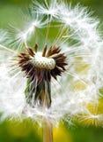 Jardim da mola e prado - flores da primavera: dente-de-leão Taraxa Fotografia de Stock