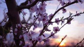 Jardim da mola, flores cor-de-rosa delicadas bonitas no close-up do abricó do fruto de árvore no pomar no por do sol vídeos de arquivo