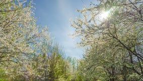Jardim da mola, flores de cerejeira e o sol, tempo-lapso da inclinação vídeos de arquivo