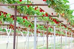 Jardim da morango Imagem de Stock