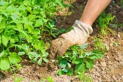 Jardim da remoção de ervas daninhas Fotografia de Stock