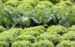 Jardim da salada Imagens de Stock Royalty Free
