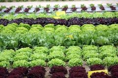 Jardim da salada Fotografia de Stock Royalty Free