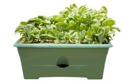 Jardim da salada do recipiente, isolado Imagens de Stock Royalty Free