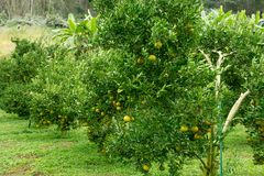 Jardim da tangerina no norte de Tailândia fotos de stock